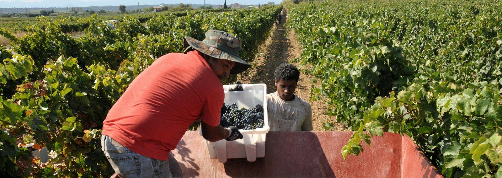 Vendimiadores recolectando las uvas en cajas